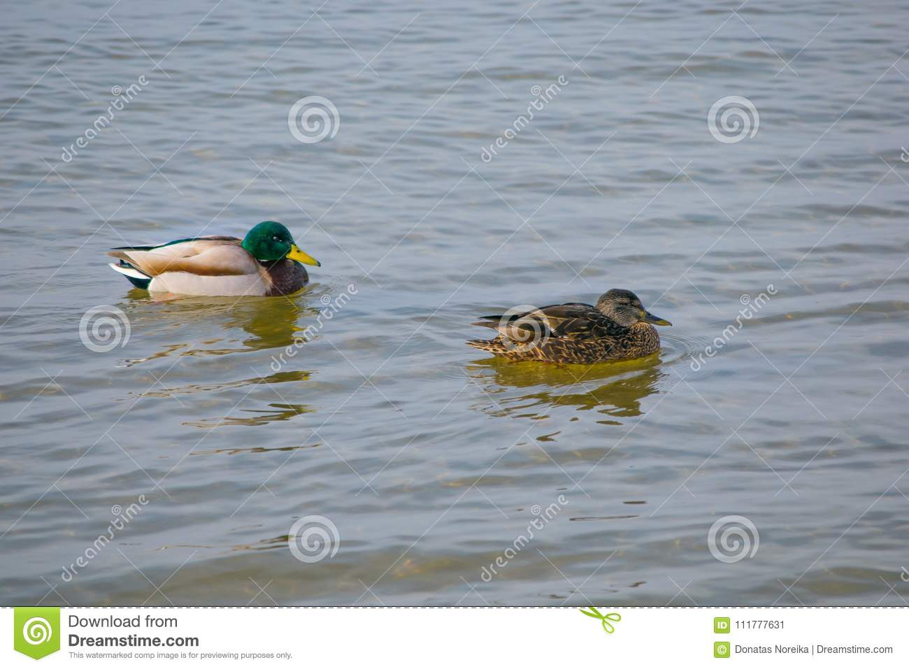Two ducks in the water