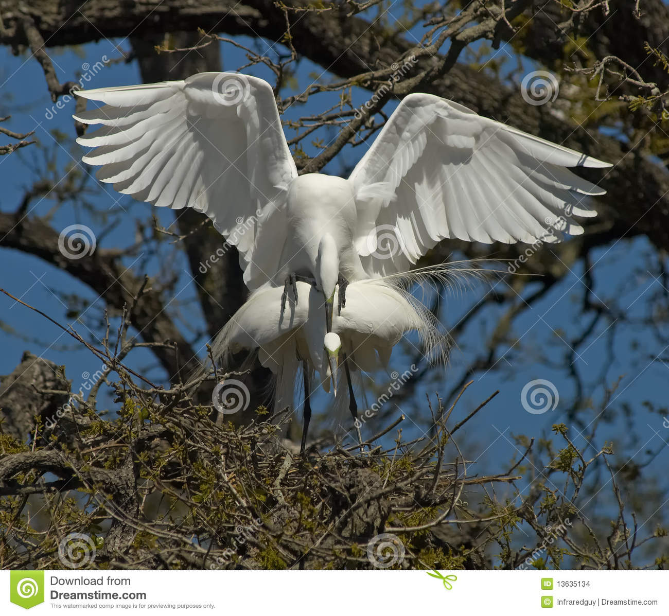 Two egrets mating in tree