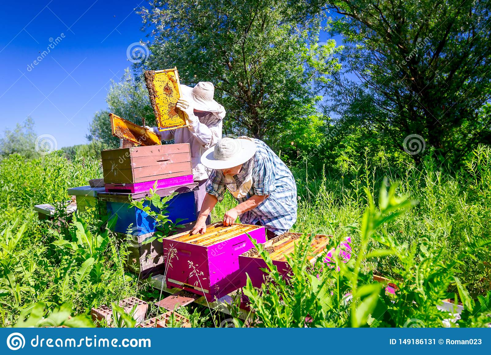 Two elderly apiarists, beekeepers are checking bees on honeycomb