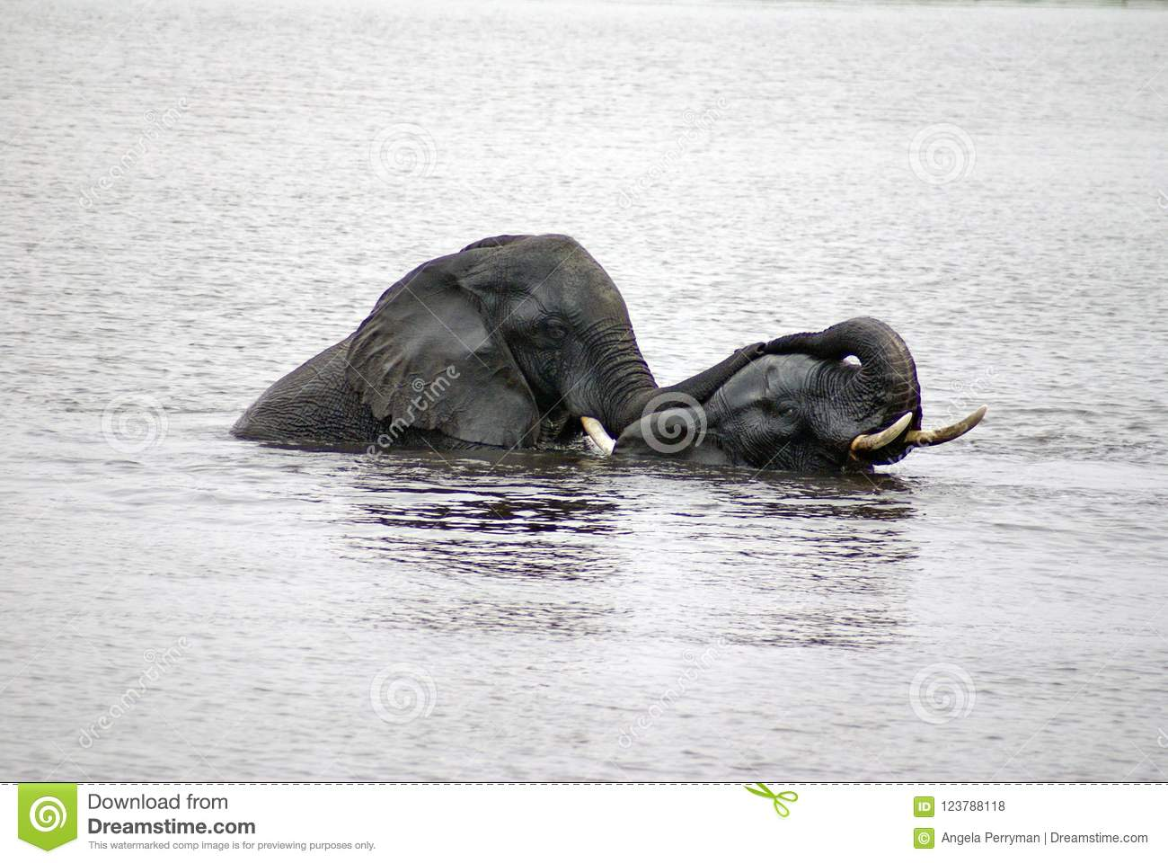 Two Elephants Having Sex In The River Stock Photo Image Of