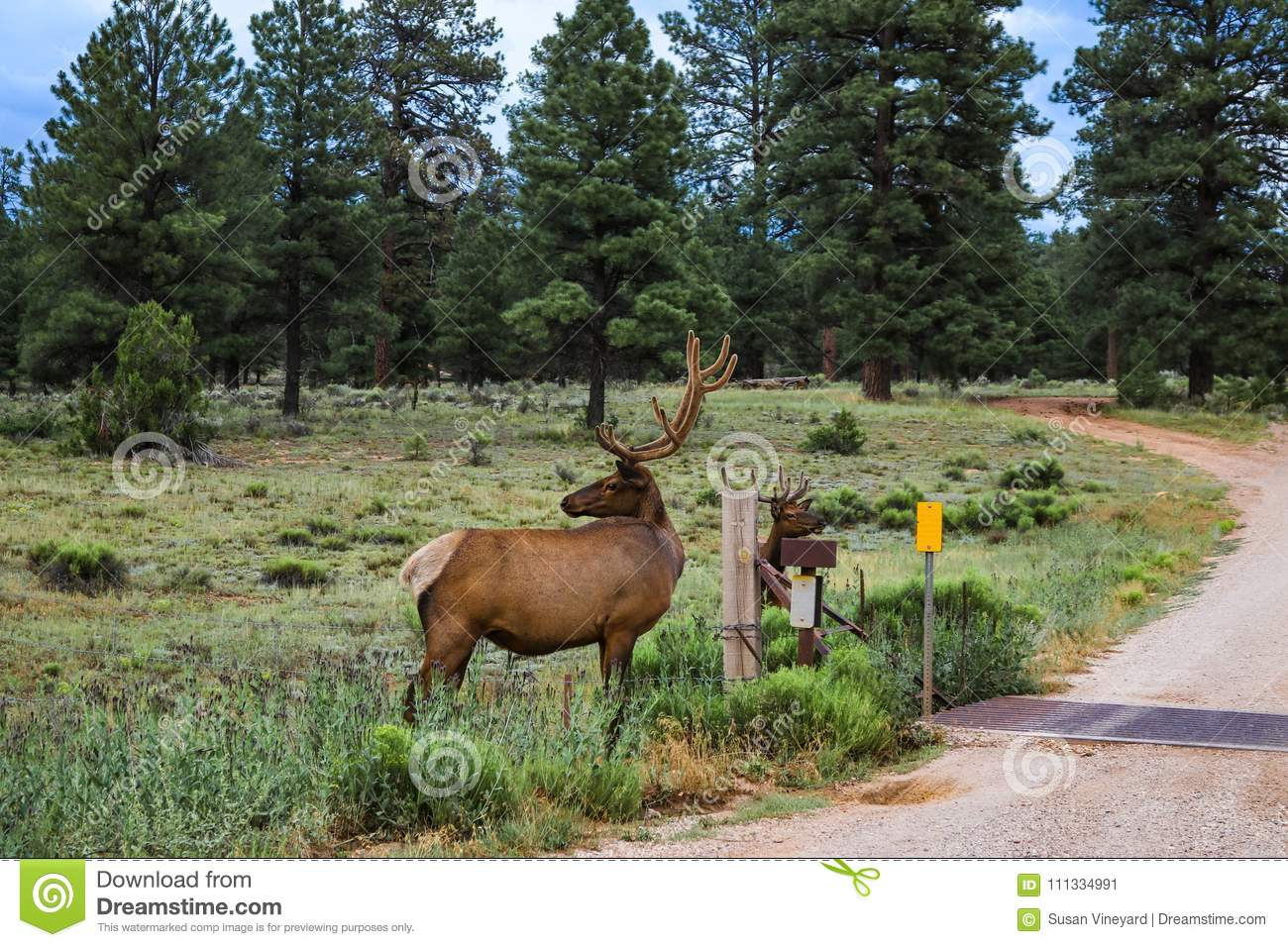 Two elk by cattle guard near Grand Canyon Arizona