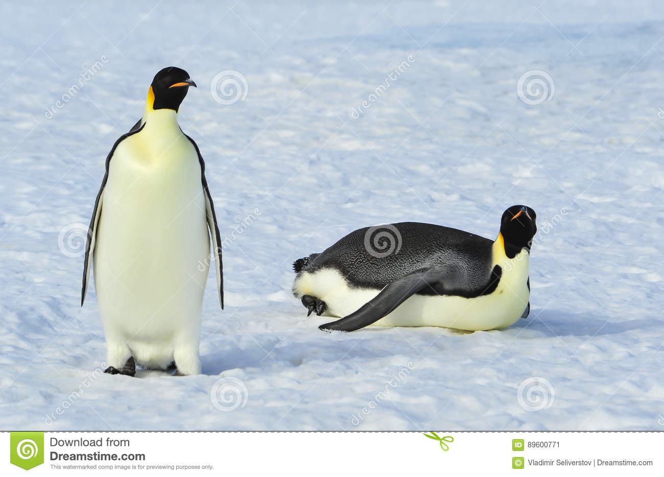 Two Emperor Penguins on the snow