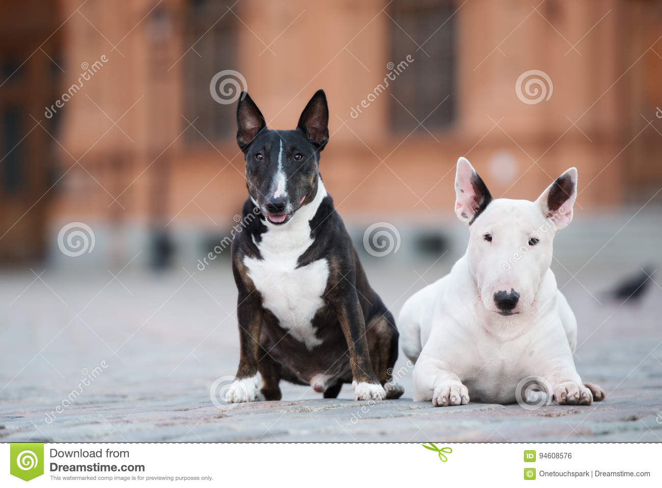 Two English Bull Terrier Dogs Posing Outdoors Together Stock