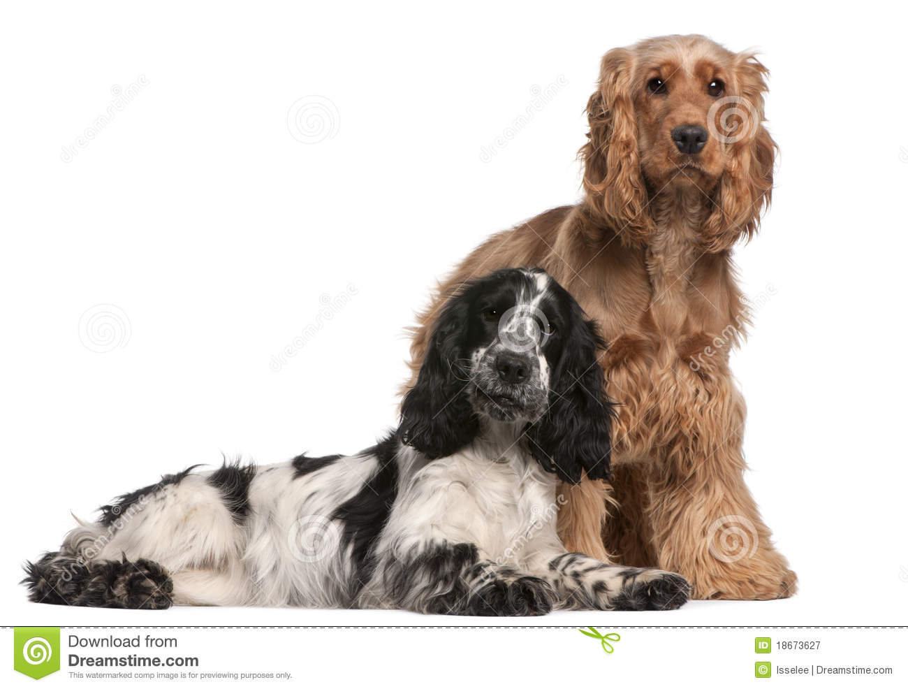 Two English Cocker Spaniels, 2 years old