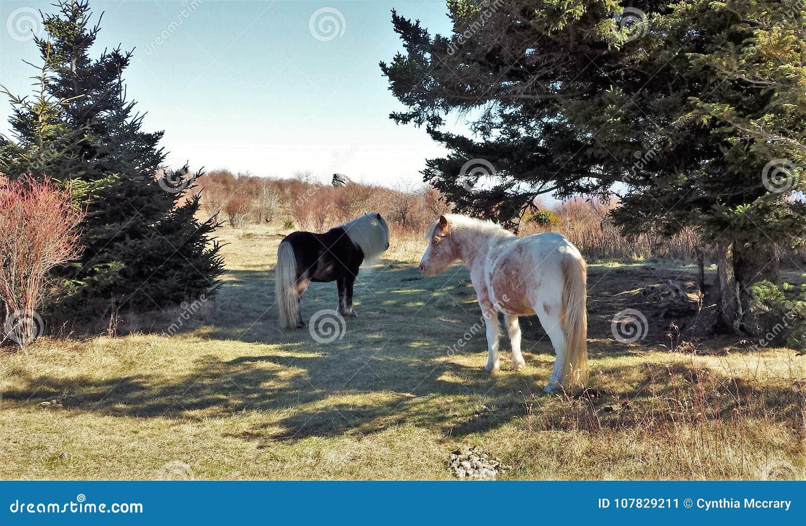 grayson highlands wild ponies stock image image of fabio pony