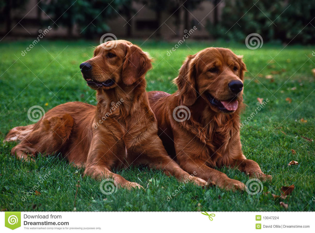 Two Family Dogs Relaxing On The Lawn Stock Photo Image