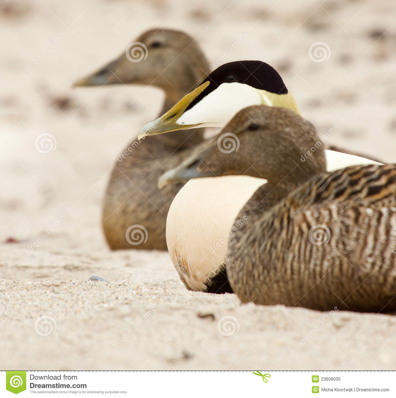 Two female and one male duck on a beach