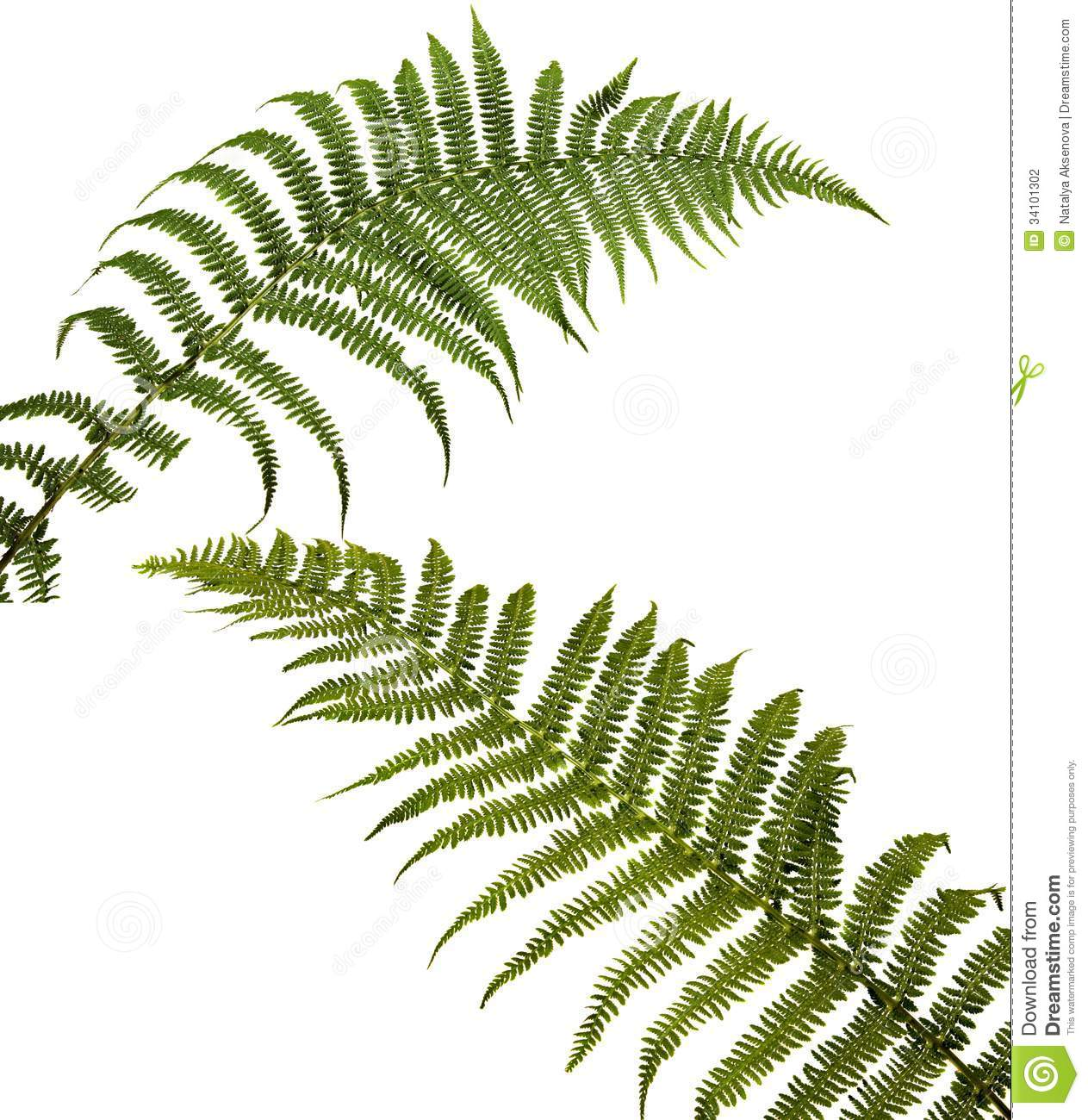 Two Fern Leaf Isolated On White Background. Stock ...