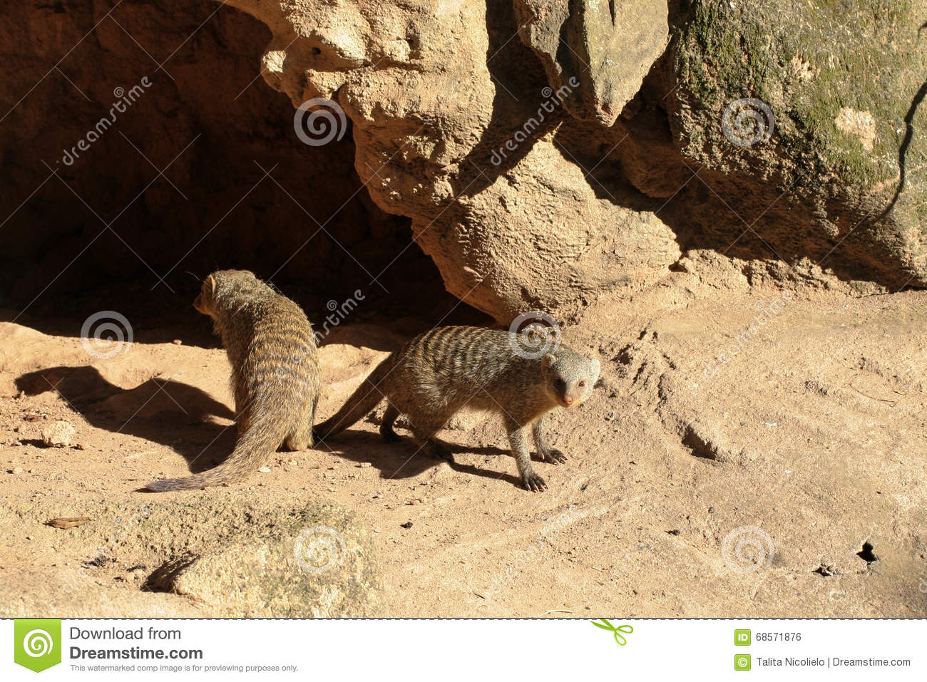 Two ferrets near cave
