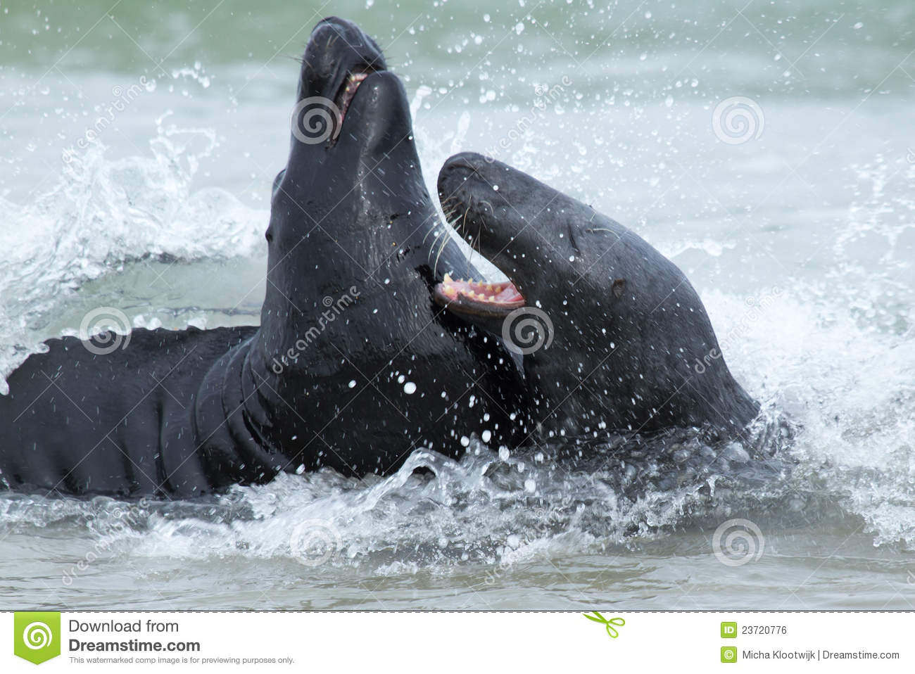 Two fighting grey seals
