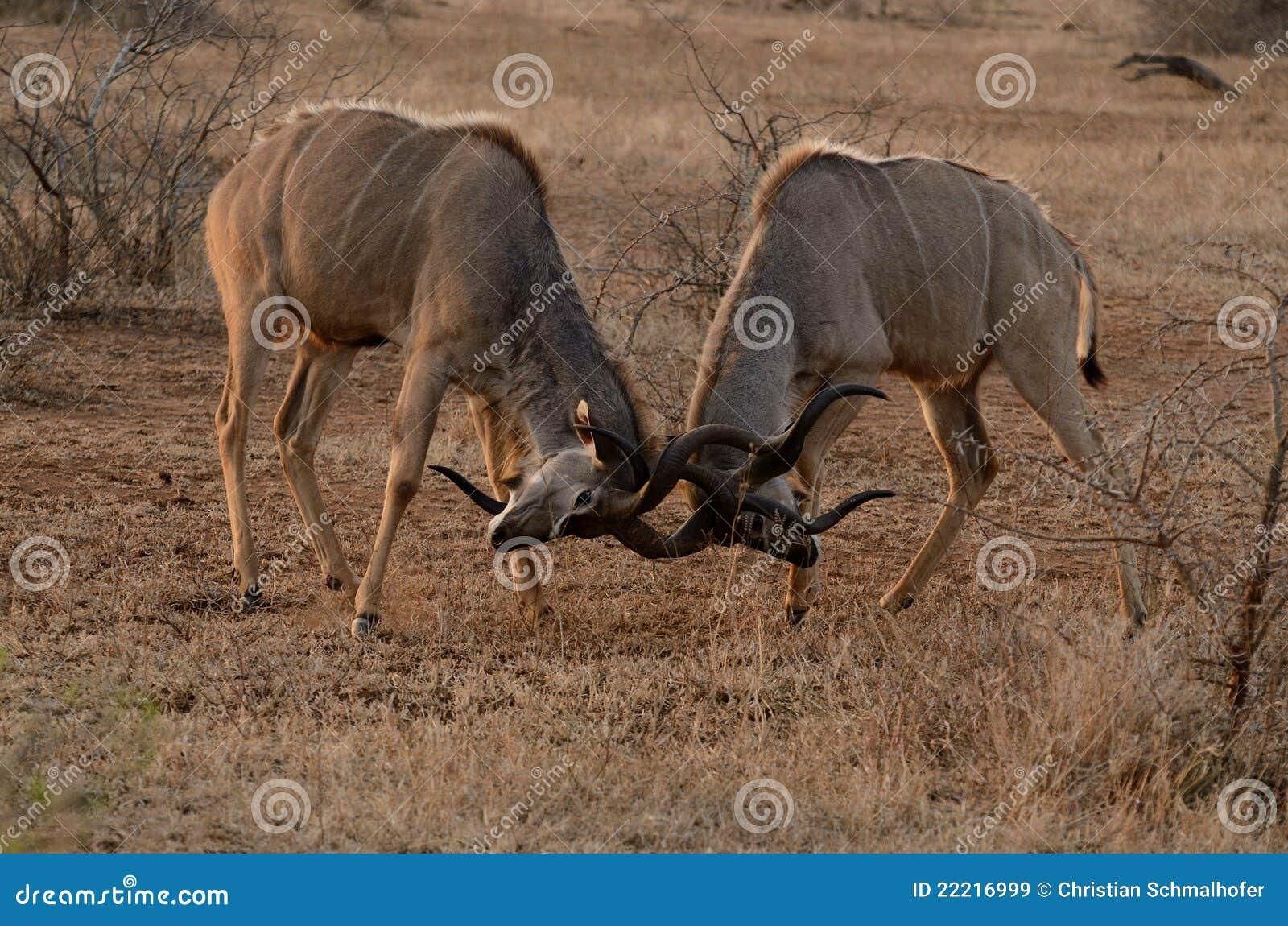 Two Fighting Kudus