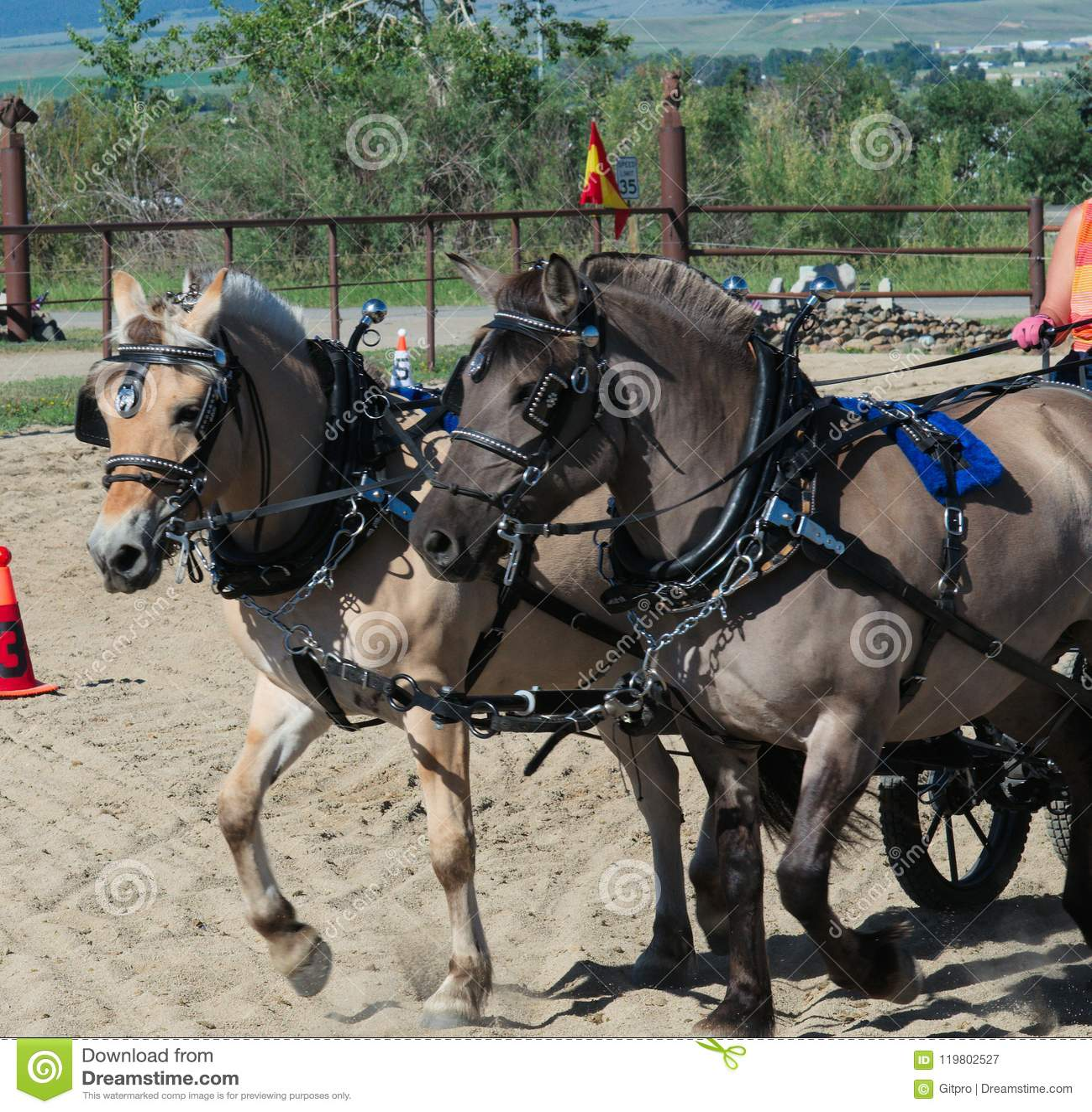 Small Draft Horses Pulling Cart Stock Image Image Of Lash Band 119802527