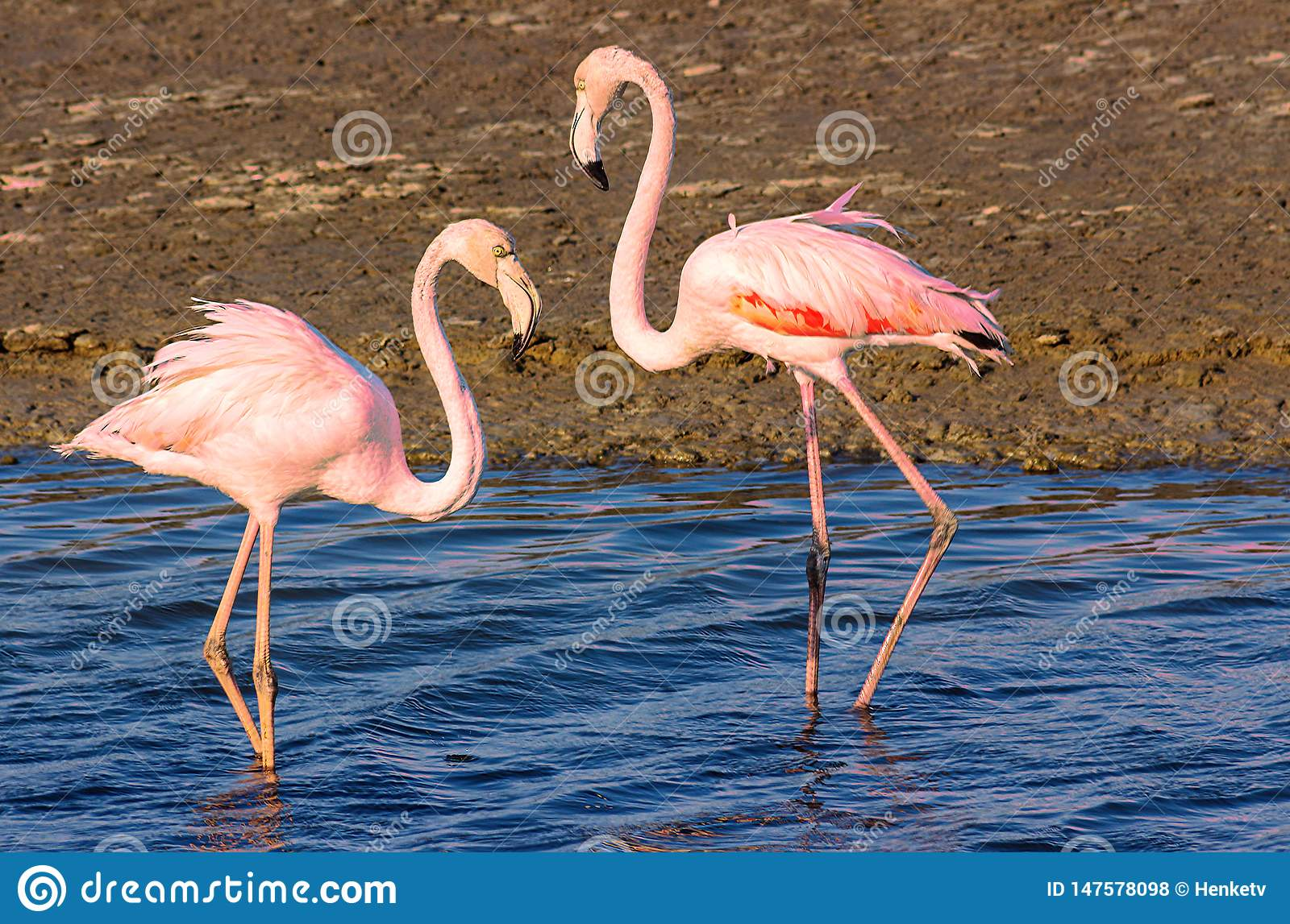 Two flamingo lovers in the lagoon
