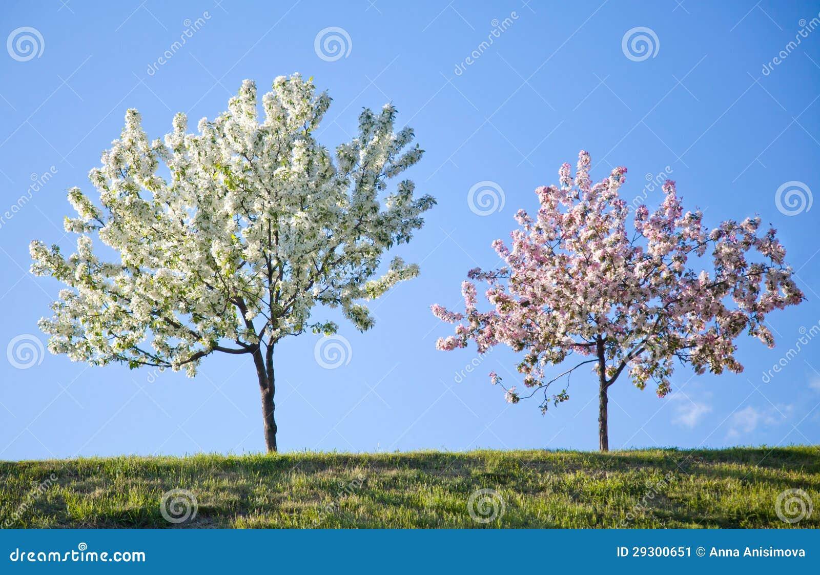 Two flowering trees against the blue sky stock image image of two flowering trees against the blue sky izmirmasajfo