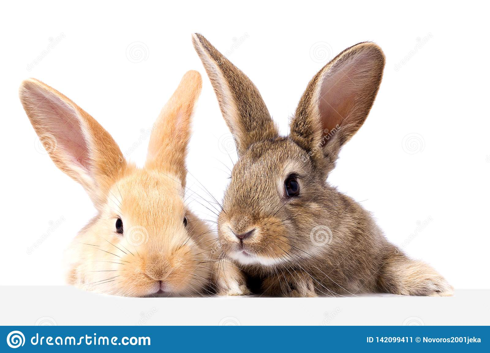 Two fluffy bunnies look at the signboard. Isolated on white background Easter Bunny. Red and gray rabbit peeking.