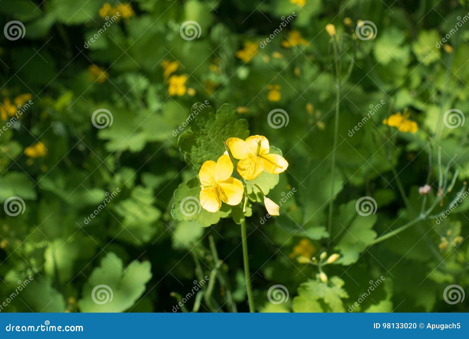 Two Four Petaled Yellow Flowers Of Chelidonium Stock Photo Image