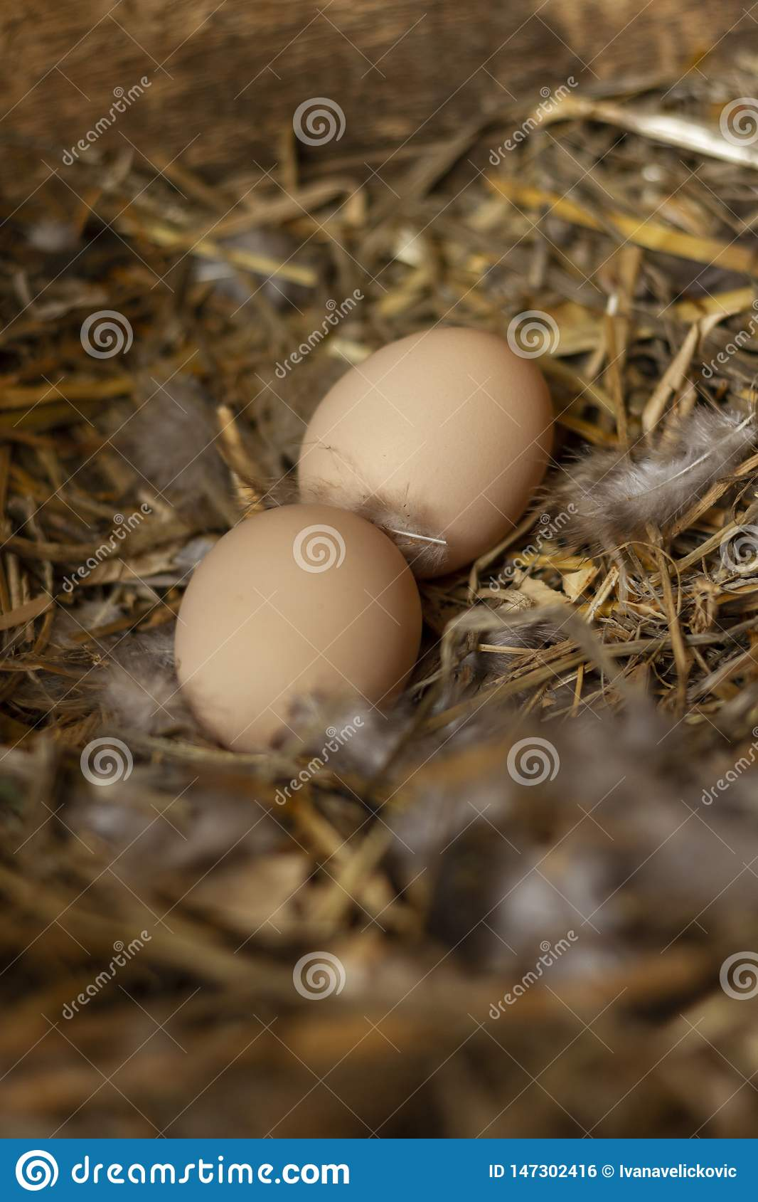 Two freerange chicken eggs in a nest with feathers