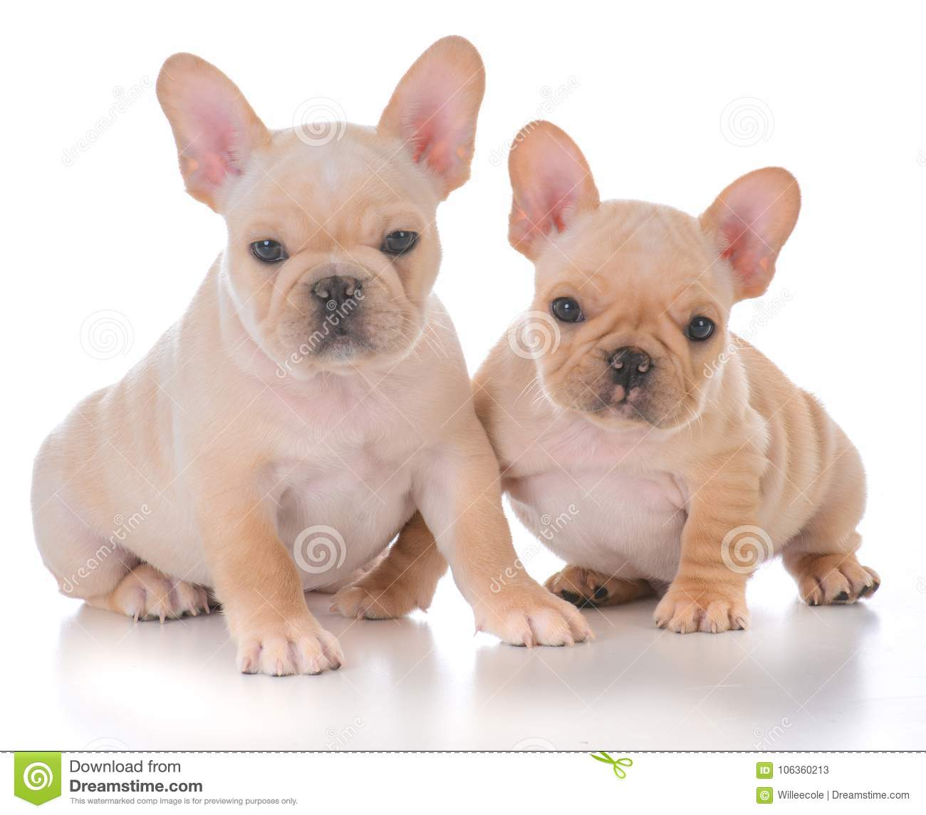 Two French Bulldog Puppies Stock Image Image Of Training 106360213