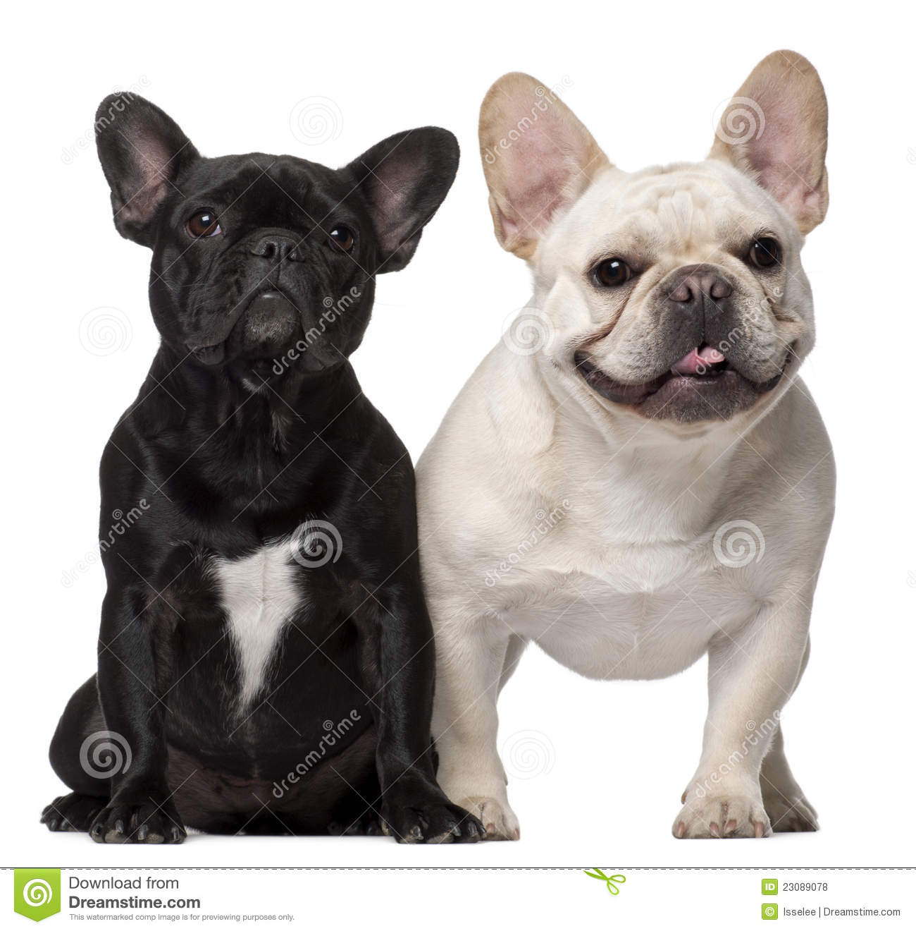 Two French Bulldogs, 1...