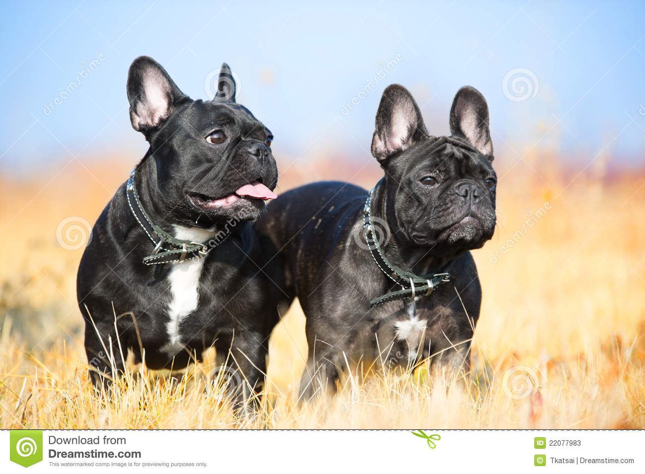 Two French Bulldogs St...