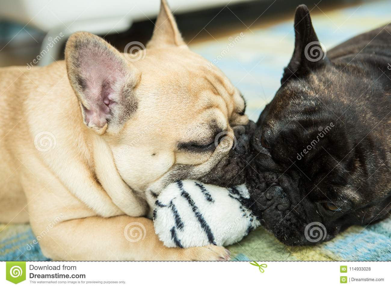 Frenchies Puppies Photos Free Royalty Free Stock Photos From Dreamstime