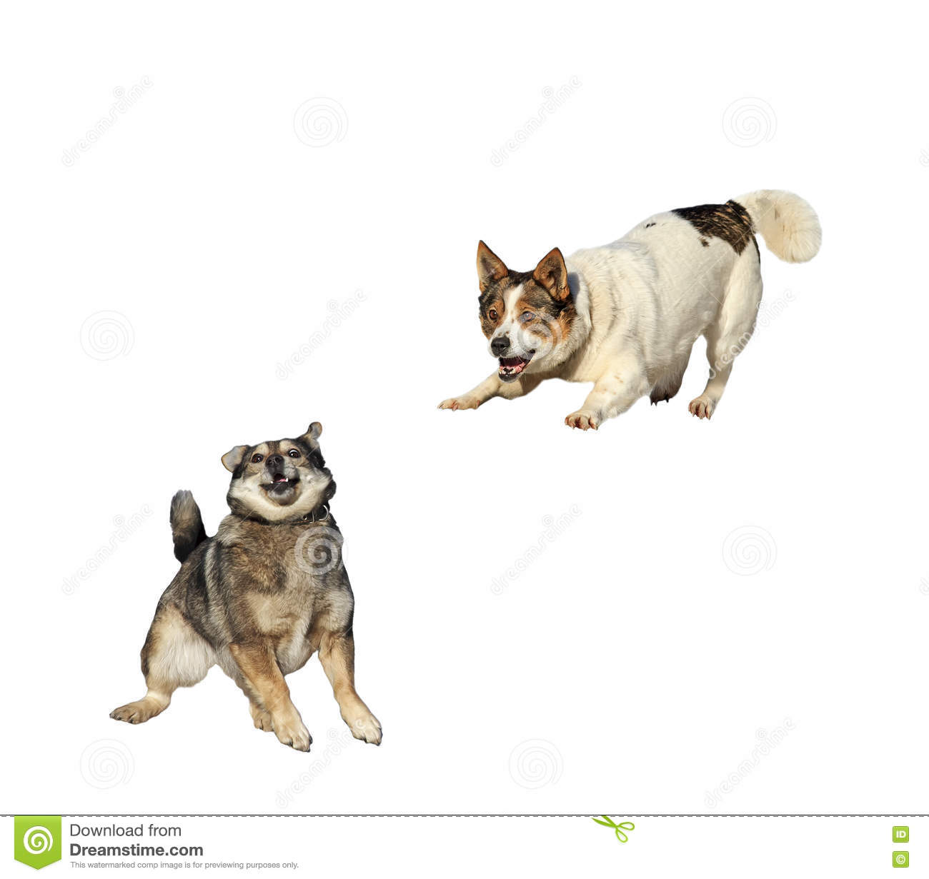 Two funny dog cuddling and fooling around noses on white isolated background