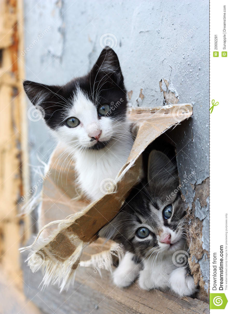 Two Small Stray Playful Funny Kitten Look Out Hiding