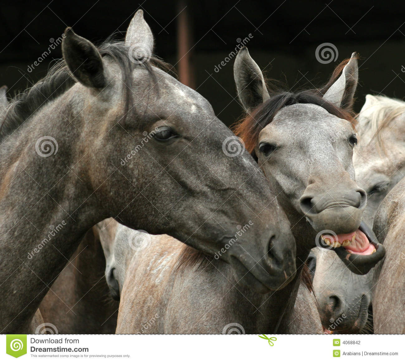 Horses Silly Photos Free Royalty Free Stock Photos From Dreamstime