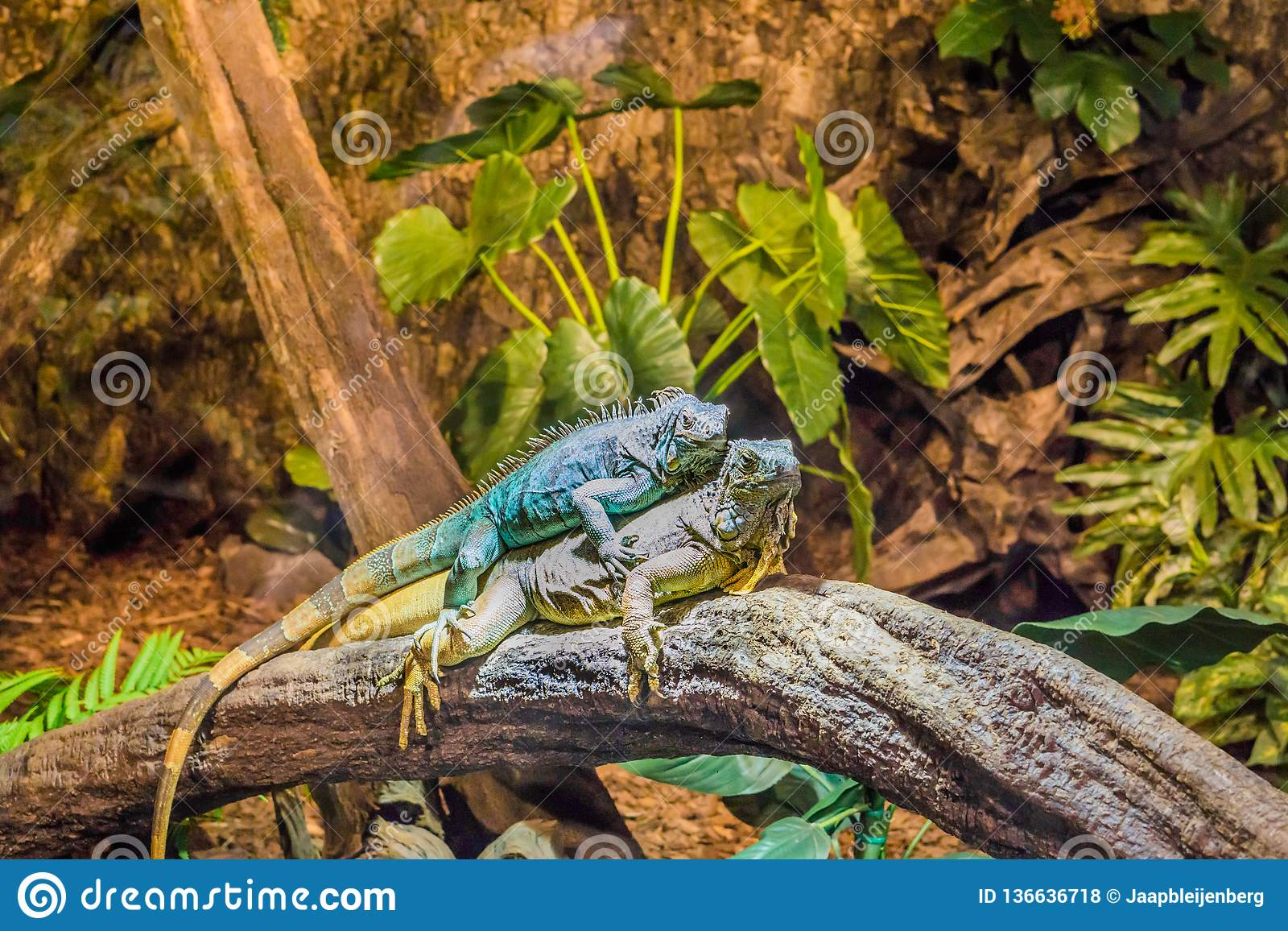 Two funny iguanas laying on top of each other, dominant animal behavior, popular pets in herpetoculture