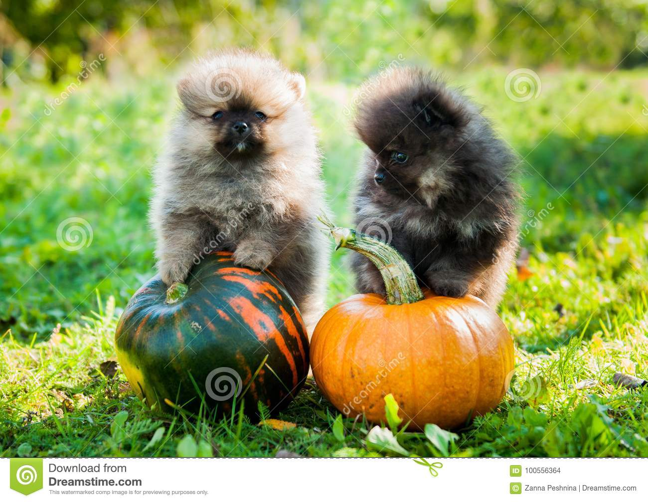 pomeranian dogs and pumpkin, halloween stock photo - image of funny