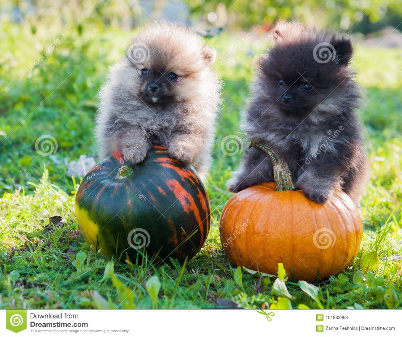 pomeranian dogs and pumpkin, halloween stock image - image of cream