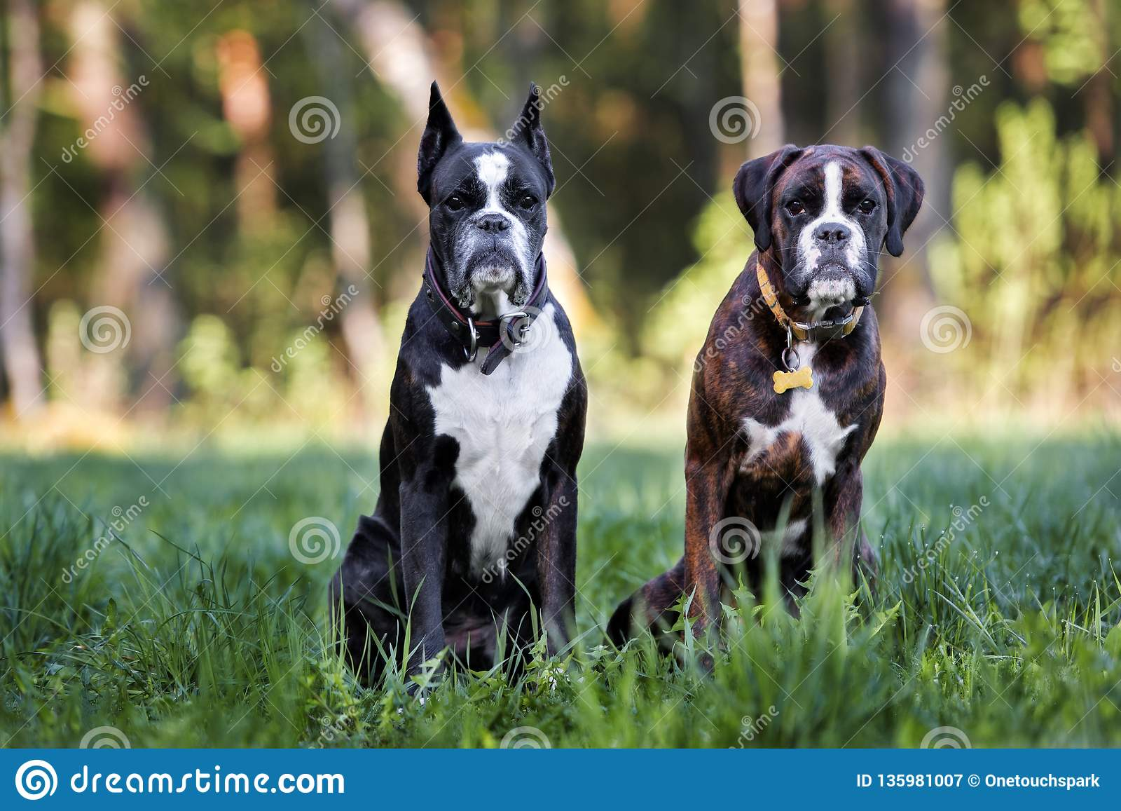 Two German Boxer Dogs Posing Together Outdoors Stock Image Image Of Purebred Nature 135981007