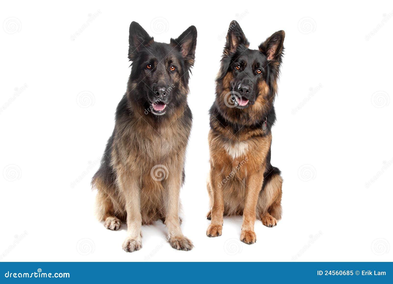 Belgian Shepherd Dog Puppy 3 Months Old Royalty Free Stock Photos