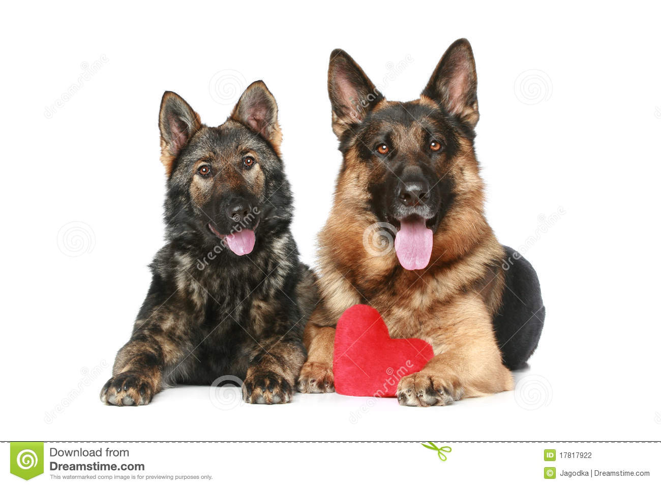 German heart two german shepherd dogs with