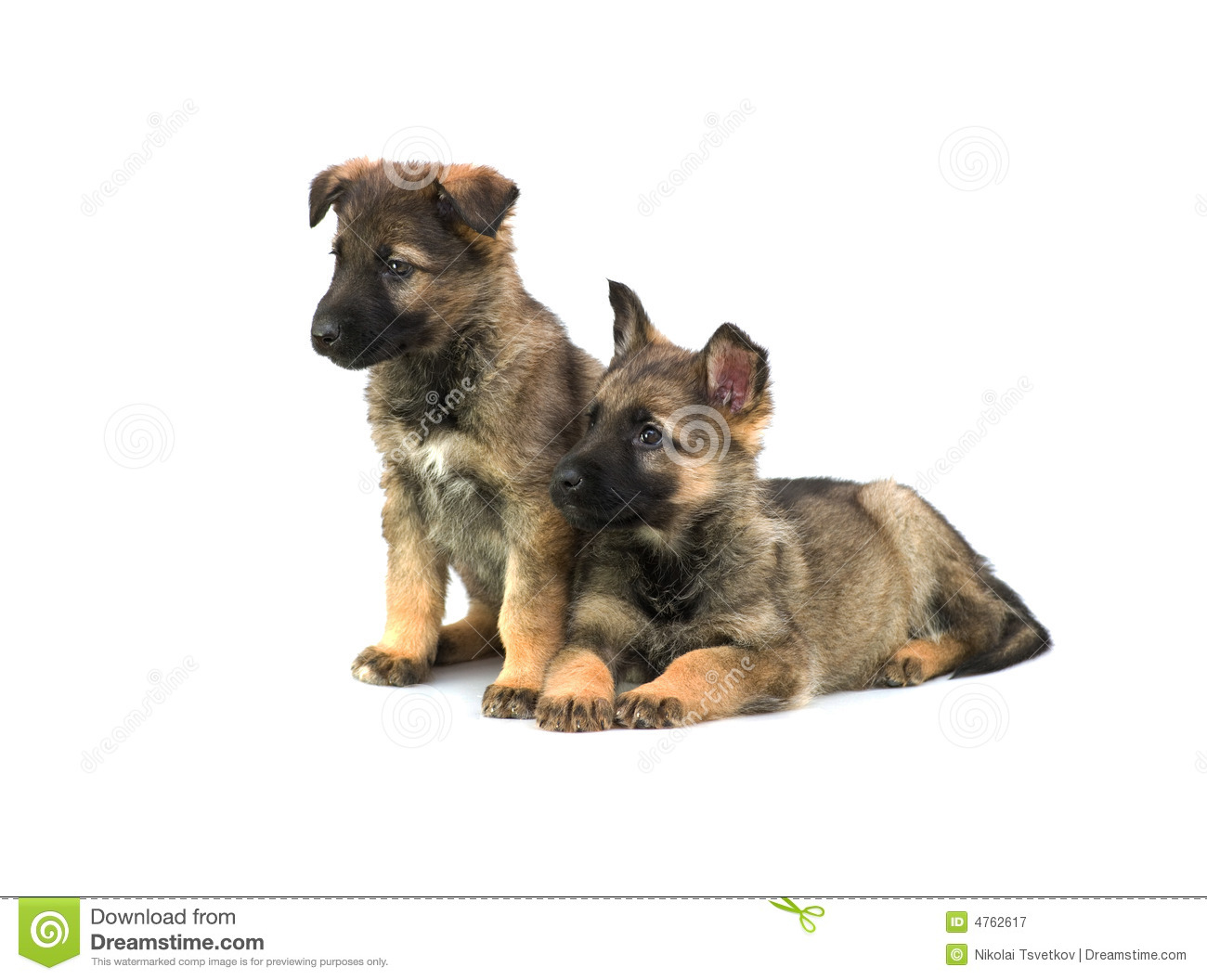 Two Germany sheep-dog puppies