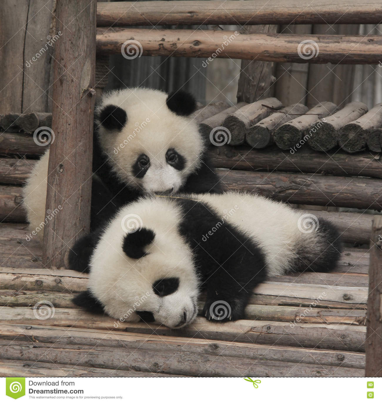 Giant Panda Cubs Playing Giant Panda Bea...
