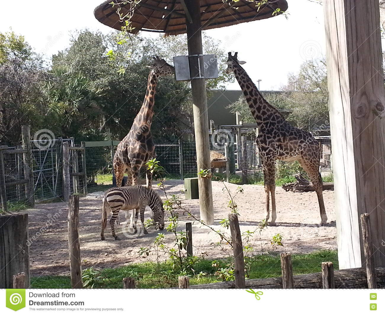 Two Giraffes And Zebra At Tampa Zoo Stock Image - Image of