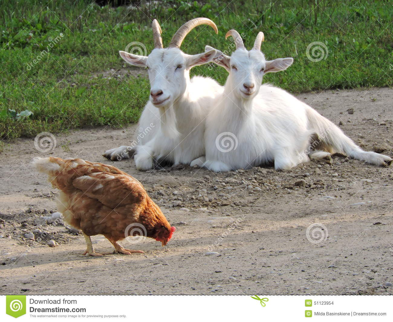 Two Goat And Hen Stock Photo Image 51123954