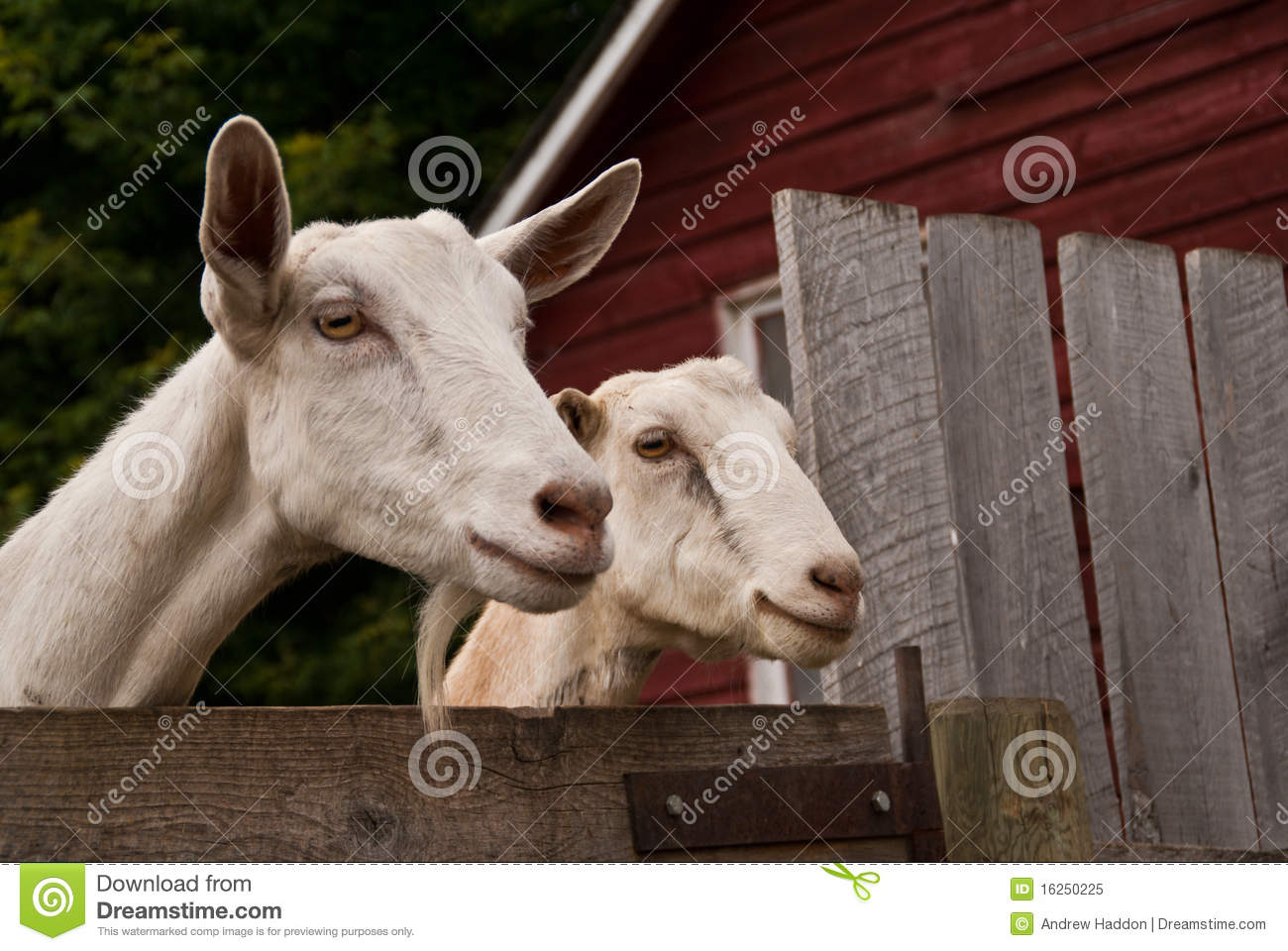 Two goats looking over a fence