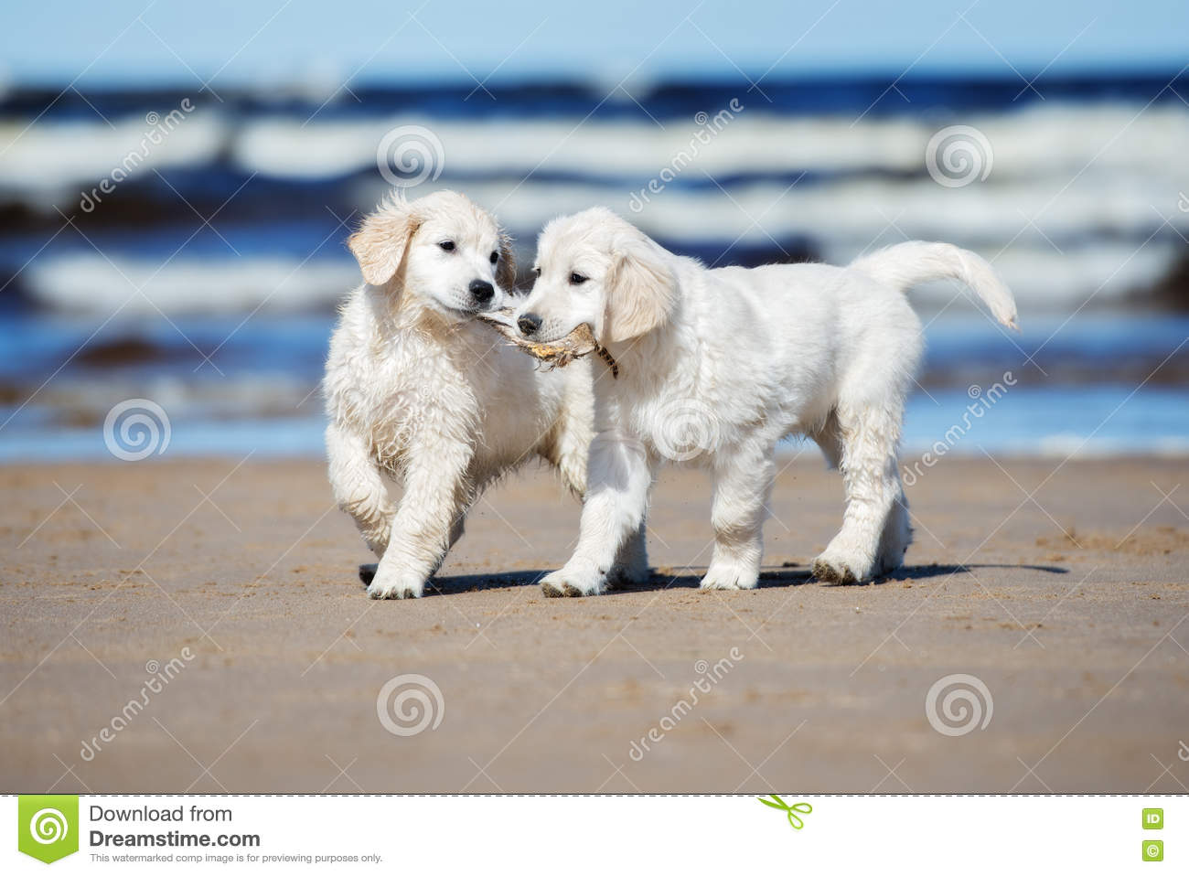 Two Golden Retriever Puppies On A Beach Stock Photo Image Of Active Holding 70245680