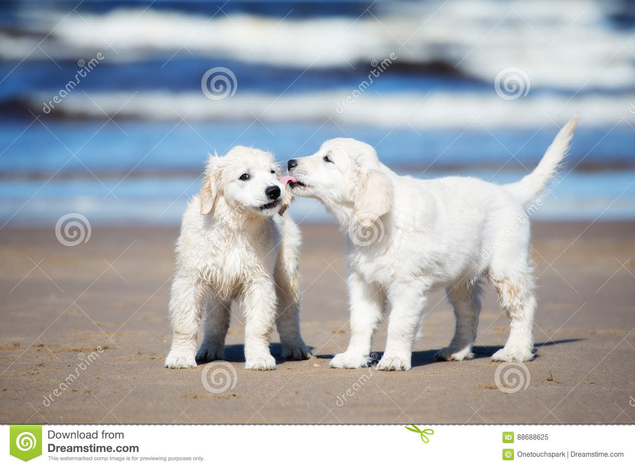Two Golden Retriever Puppies On A Beach Stock Image Image Of Background Standing 88688625