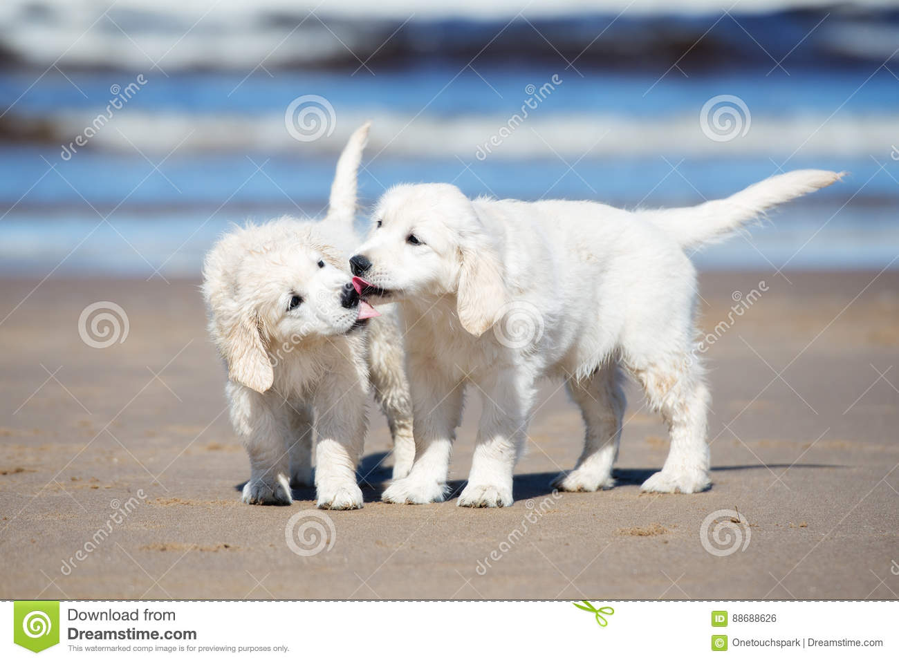 Two Golden Retriever Puppies On A Beach Stock Photo Image Of Animal Positive 88688626