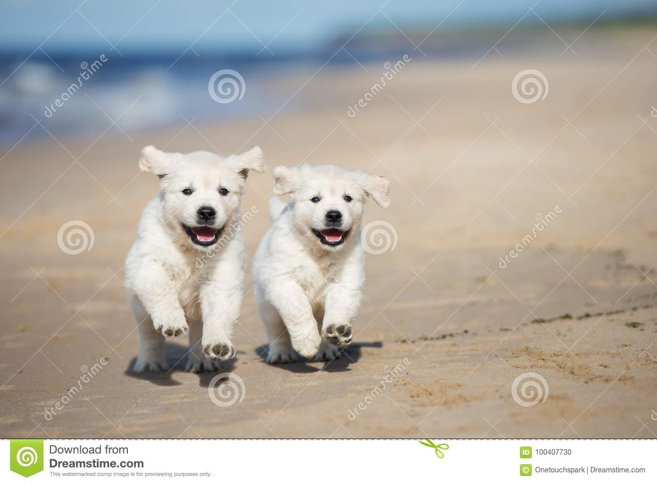 Two Golden Retriever Puppies Running On A Beach Stock Photo Image Of Beach Portrait 100407730
