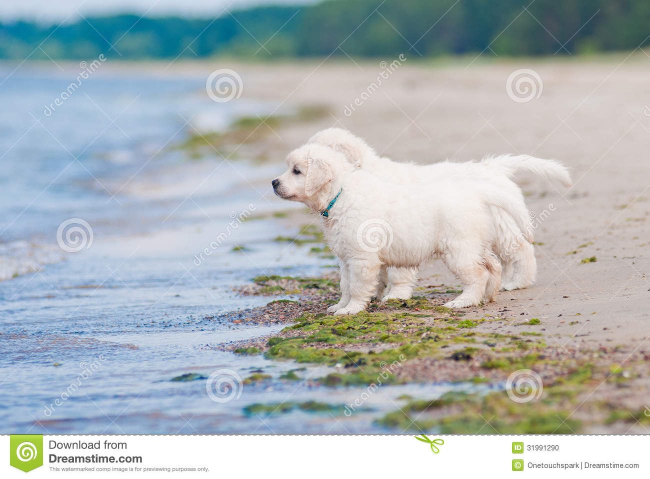 Two Golden Retriever Puppies At The Sea Stock Photo Image Of