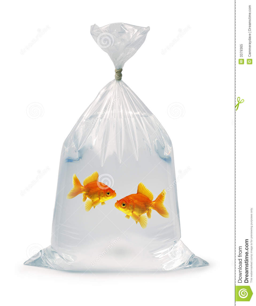 Two Goldfish In A Bag Royalty Free Stock Photo - Image: 3379365