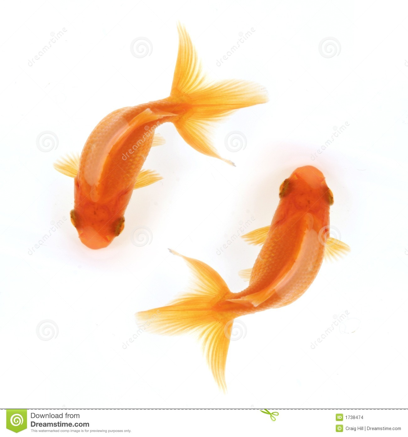 Two goldfish swimming in circles isolated on white, birdseye view.
