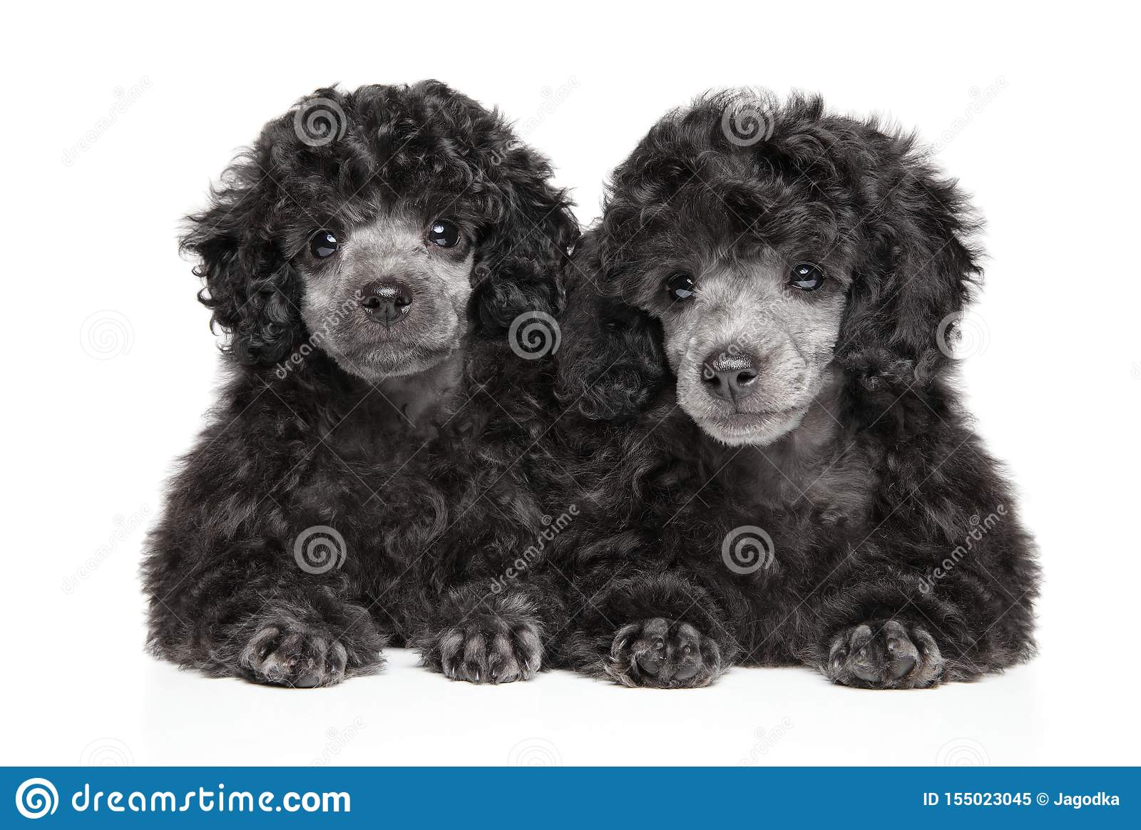 Two Gray Toy Poodle Puppies On White Background Stock Image Image Of Portrait Attractive 155023045