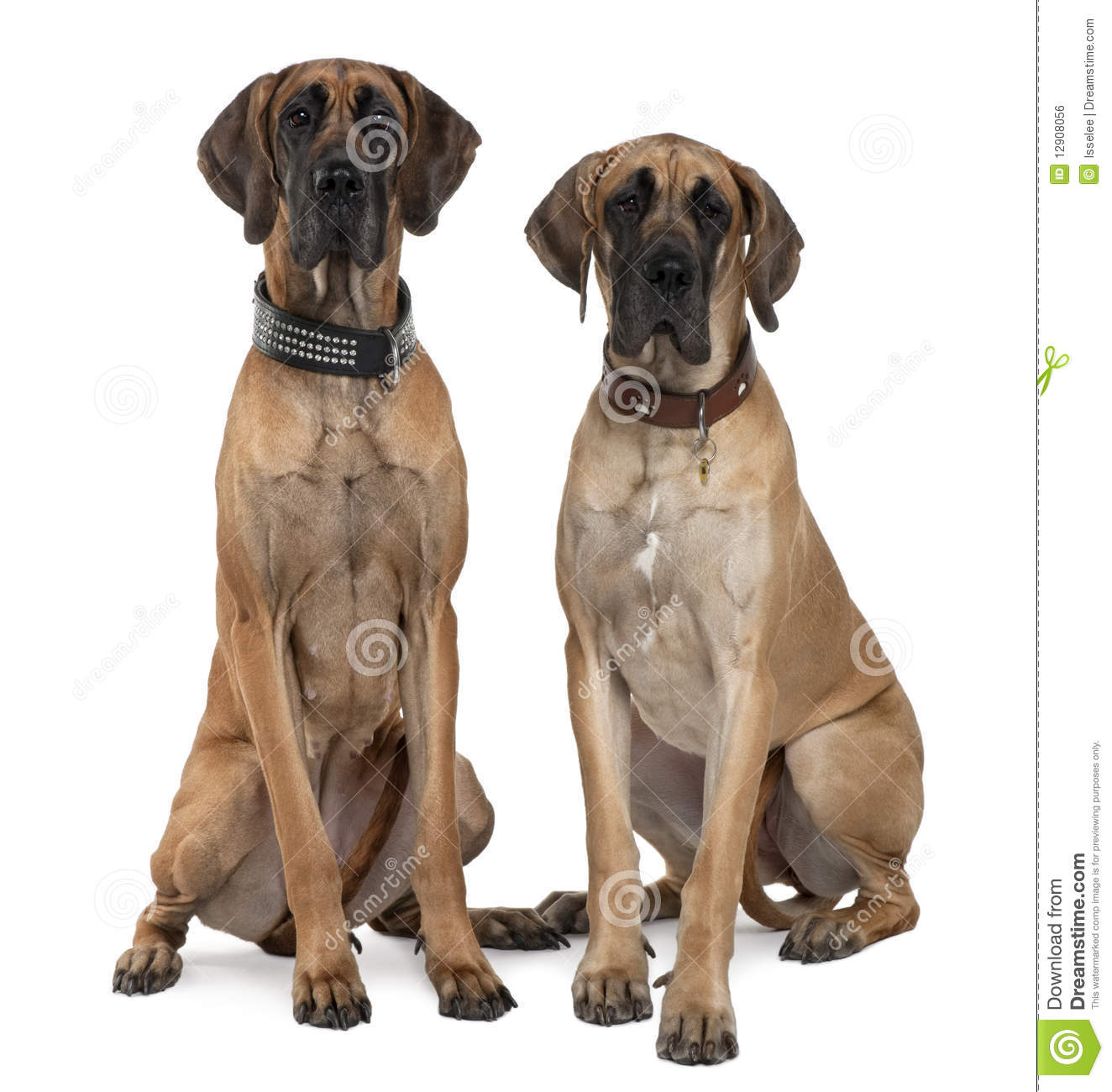 Two Great Danes Sitting And Looking At The Camera Royalty ...