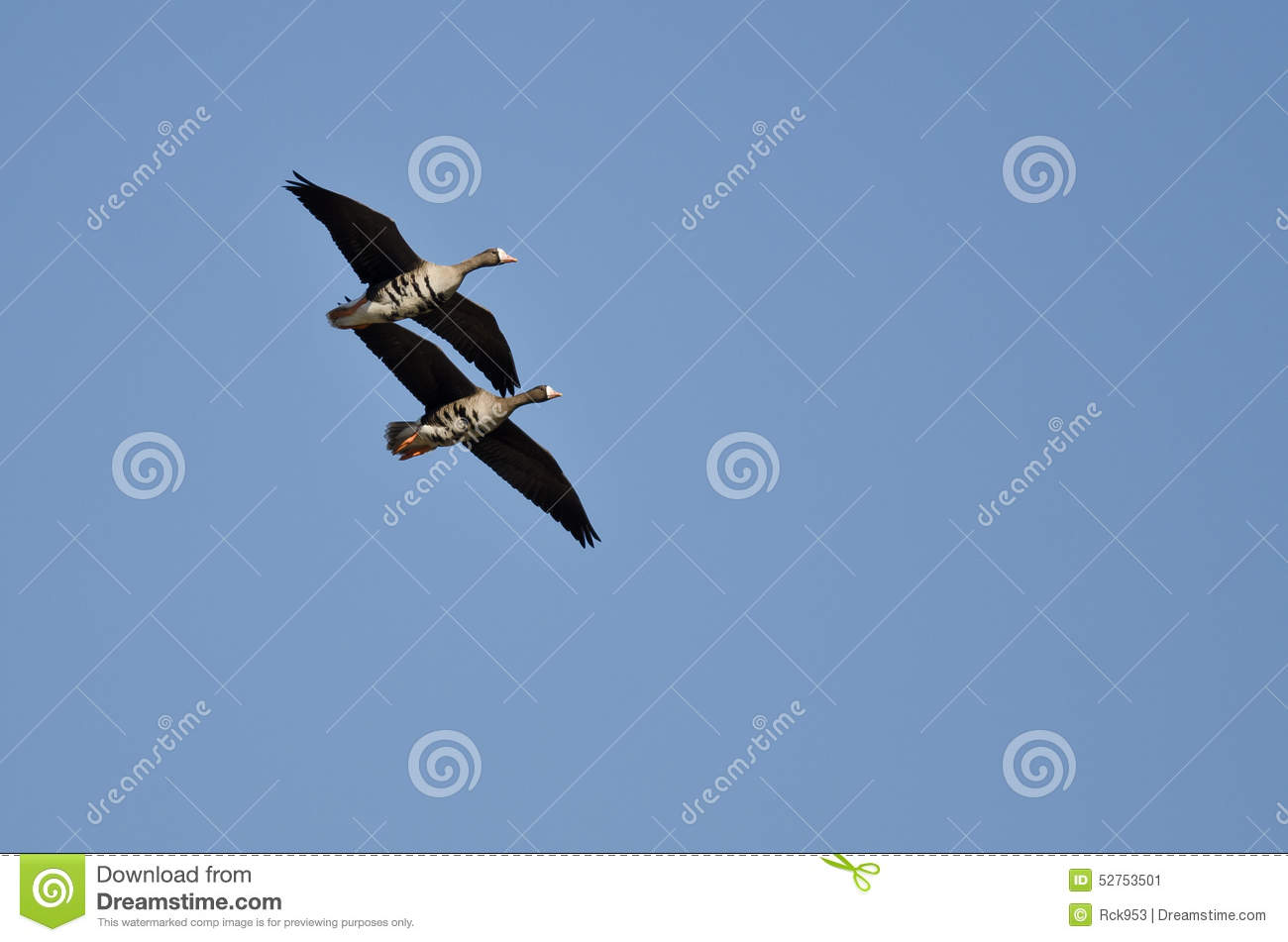 Two Greater White-Fronted Geese Demonstrating Synchronized Flying