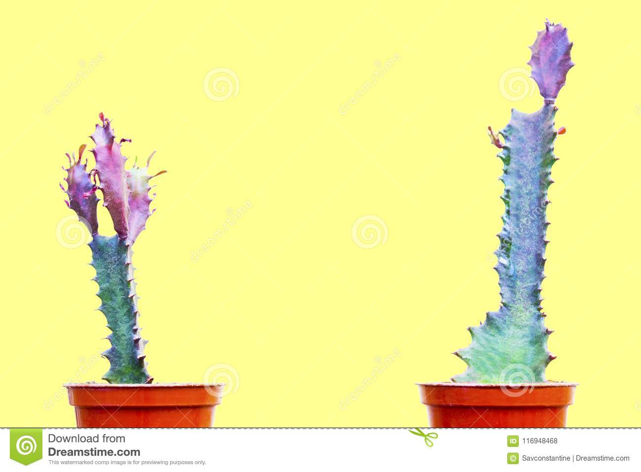 Two green cactus stock photo. Image of decoration, modern - 116948468